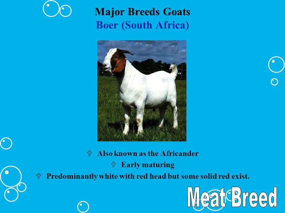 Major Breeds Goats Golden Guernsey (British) Ucolor varies from cream to brown Uusually polled Ulower in milk production than most Swiss breeds Uhigher in butter fat and protein %