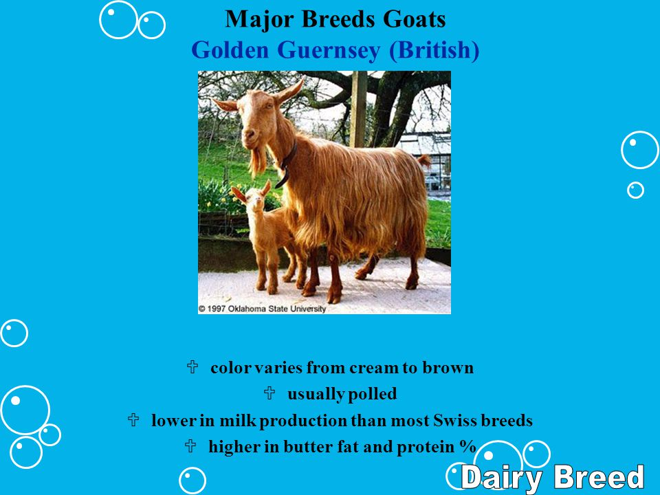Major Breeds Goats Golden Guernsey (British) Ucolor varies from cream to brown Uusually polled Ulower in milk production than most Swiss breeds Uhighe