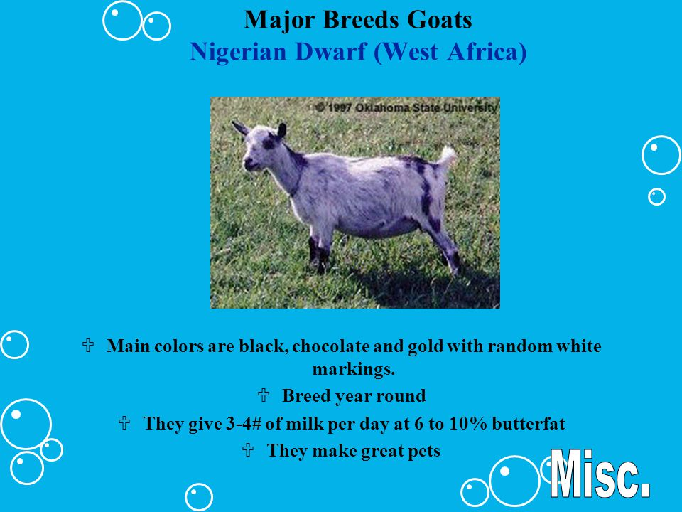 Major Breeds Goats Nubian (Oriental) ULarge framed Uface being convex between the eyes and muzzle Uears are long, wide and pendulous.
