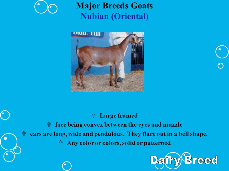 Major Breeds Goats Nubian (Oriental) ULarge framed Uface being convex between the eyes and muzzle Uears are long, wide and pendulous. They flare out i