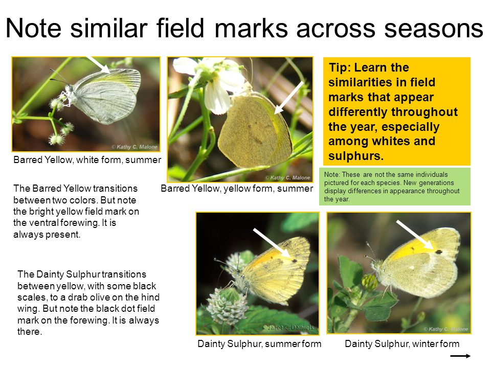 Note similar field marks across seasons Barred Yellow, white form, summer Barred Yellow, yellow form, summer The Dainty Sulphur transitions between yellow, with some black scales, to a drab olive on the hind wing.