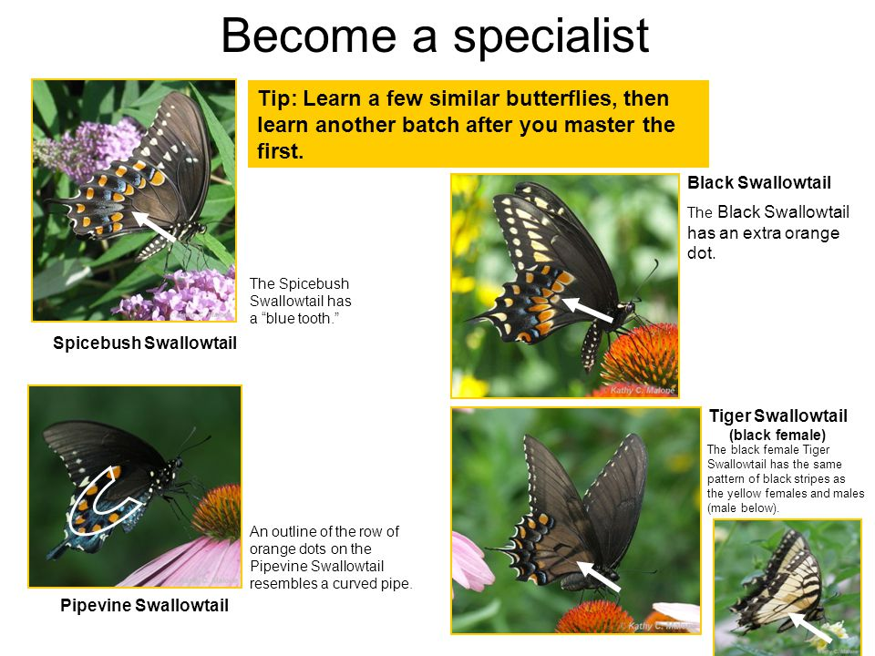 Pipevine Swallowtail Tip: Learn a few similar butterflies, then learn another batch after you master the first.