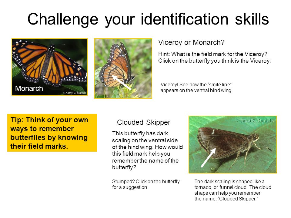 Challenge your identification skills Viceroy or Monarch.