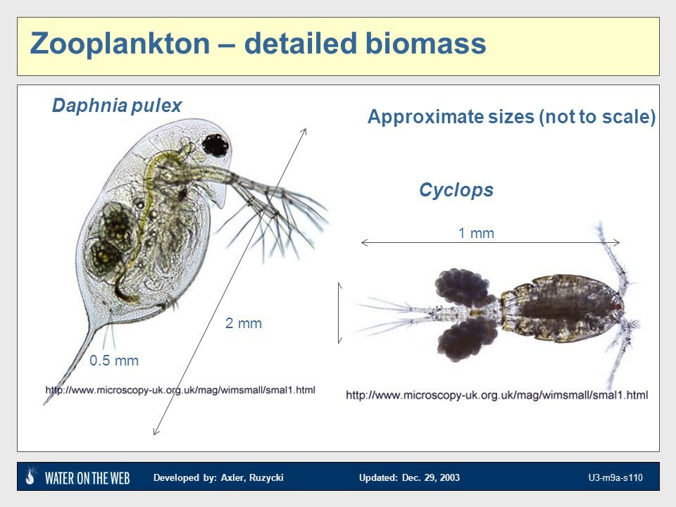 Developed by: Axler, Ruzycki Updated: Dec. 29, 2003 U3-m9a-s110 Cyclops 1 mm 2 mm 0.5 mm Approximate sizes (not to scale) Zooplankton – detailed bioma