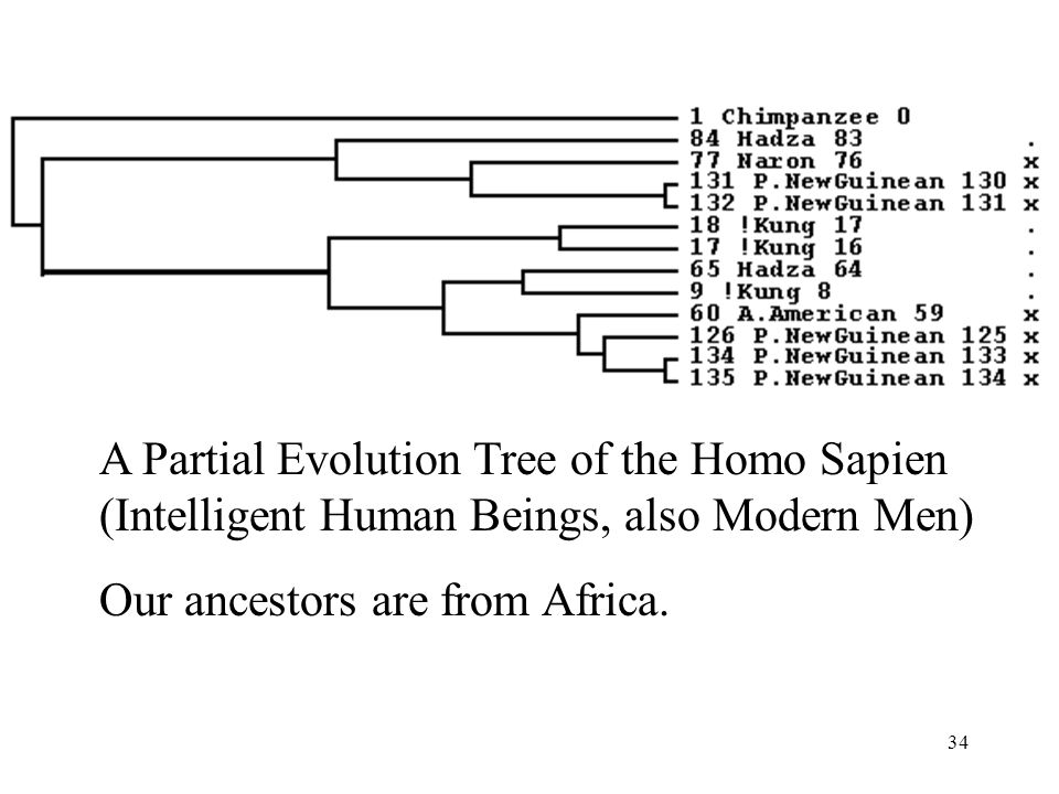 34 A Partial Evolution Tree of the Homo Sapien (Intelligent Human Beings, also Modern Men) Our ancestors are from Africa.