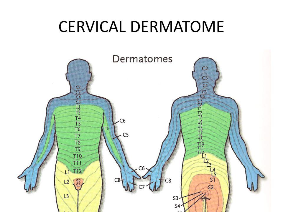 CERVICAL DERMATOME