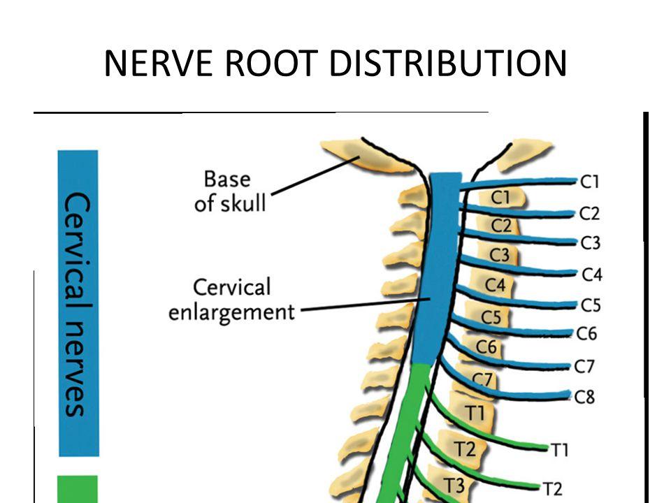 NERVE ROOT DISTRIBUTION