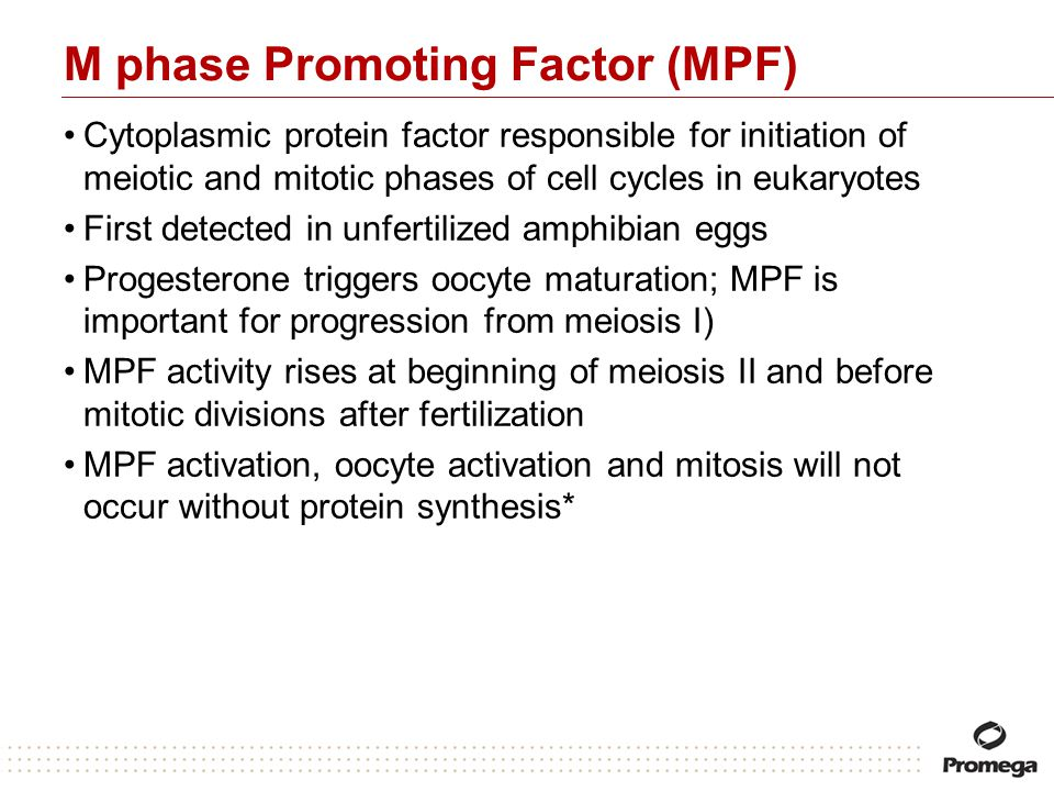 M phase Promoting Factor (MPF) Cytoplasmic protein factor responsible for initiation of meiotic and mitotic phases of cell cycles in eukaryotes First