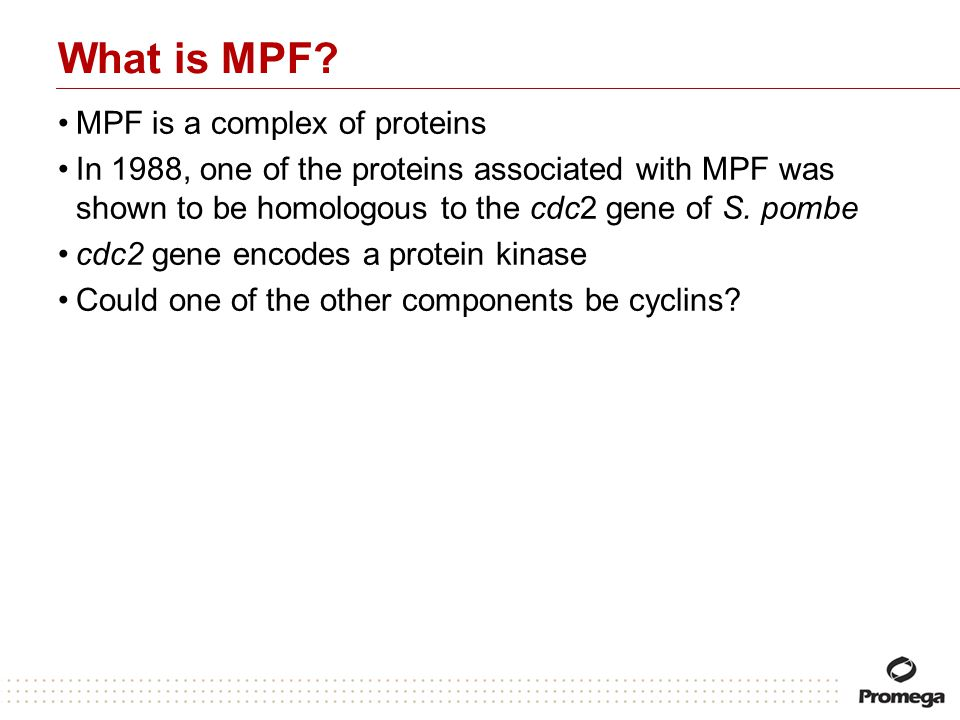 What is MPF? MPF is a complex of proteins In 1988, one of the proteins associated with MPF was shown to be homologous to the cdc2 gene of S. pombe cdc