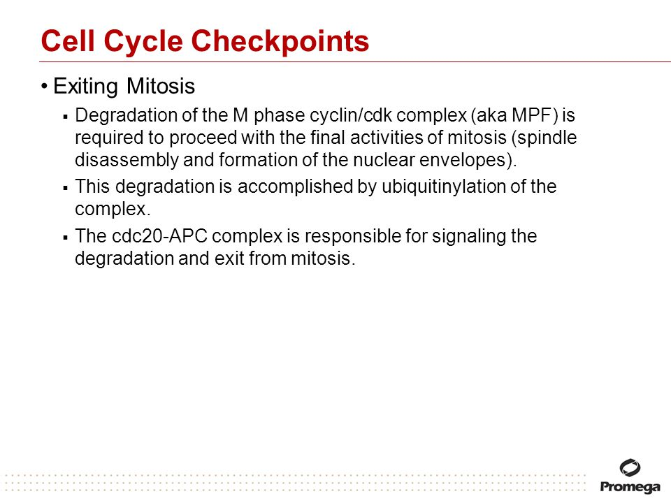 Cell Cycle Checkpoints Exiting Mitosis Degradation of the M phase cyclin/cdk complex (aka MPF) is required to proceed with the final activities of mit