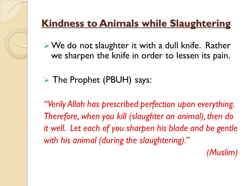 Kindness to Animals while Slaughtering We do not slaughter it with a dull knife. Rather we sharpen the knife in order to lessen its pain. The Prophet