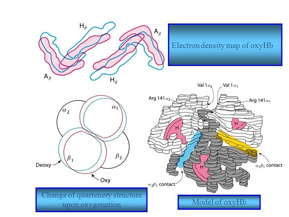 Electron density map of oxyHb Change of quartenery structure upon oxygenation Model of oxyHb