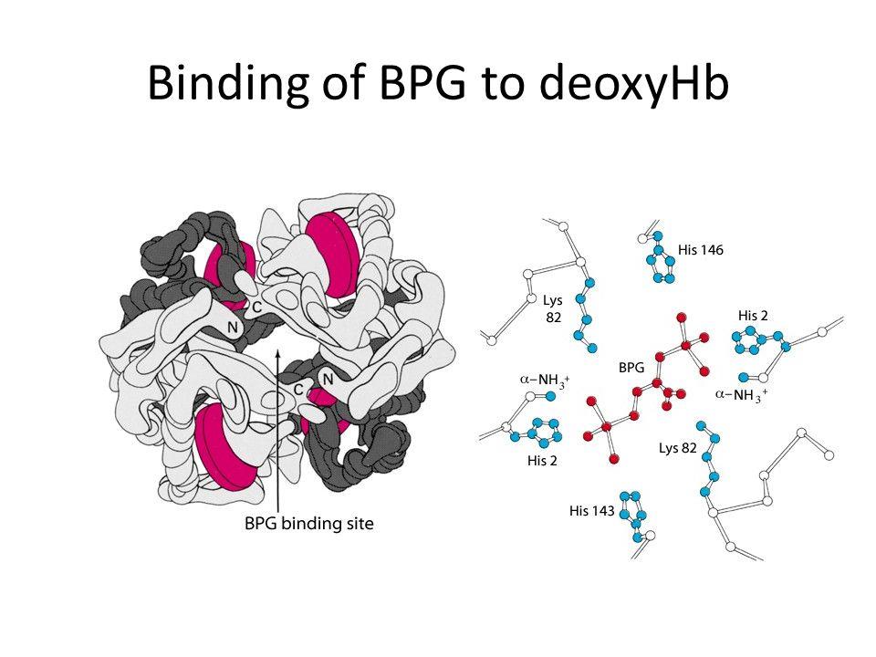 Binding of BPG to deoxyHb