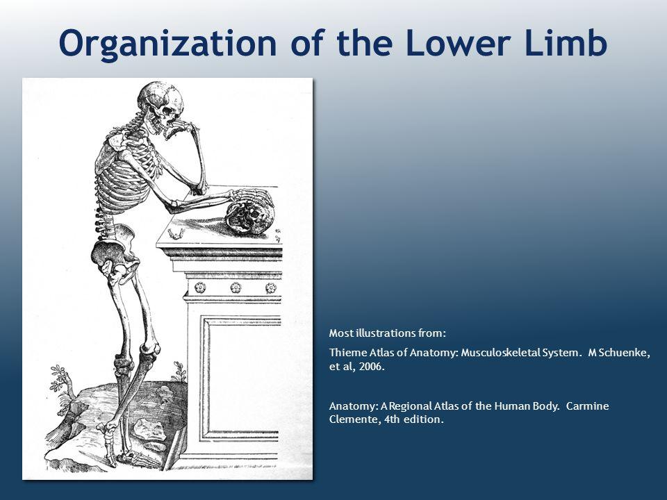 Organization of the Lower Limb Most illustrations from: Thieme Atlas of Anatomy: Musculoskeletal System. M Schuenke, et al, 2006. Anatomy: A Regional