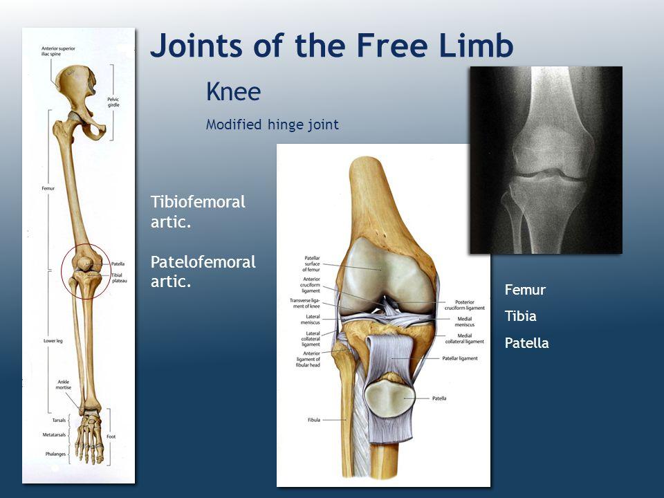 Joints of the Free Limb Knee Modified hinge joint Femur Tibia Patella Tibiofemoral artic. Patelofemoral artic.