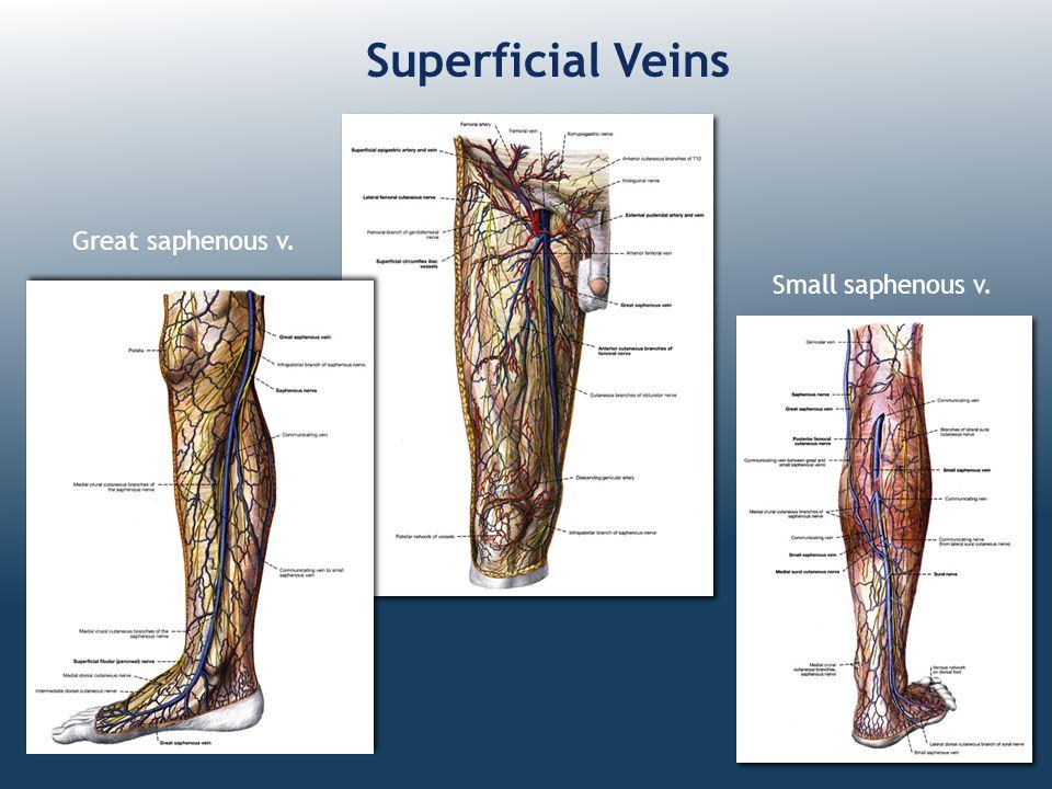 Superficial Veins Great saphenous v. Small saphenous v.