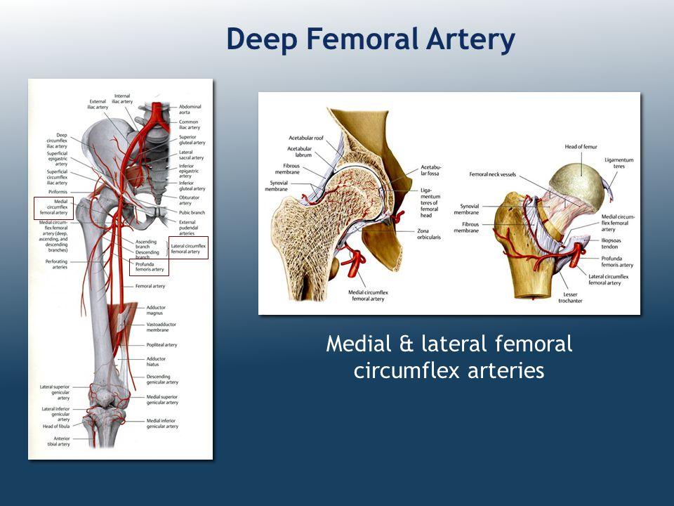 Deep Femoral Artery Medial & lateral femoral circumflex arteries