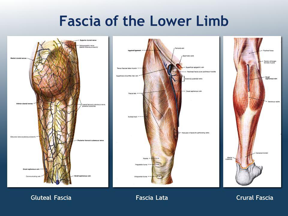 Gluteal Fascia Fascia Lata Crural Fascia Fascia of the Lower Limb