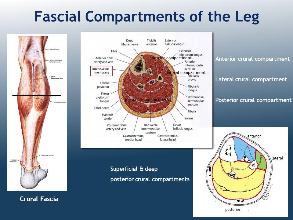 Crural Fascia Fascial Compartments of the Leg Anterior crural compartment Lateral crural compartment Posterior crural compartment Superficial & deep p