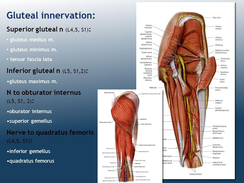 Gluteal innervation: Superior gluteal n (L4,5, S1) : gluteus medius m. gluteus minimus m. tensor fascia lata Inferior gluteal n (L5, S1,2) : gluteus m