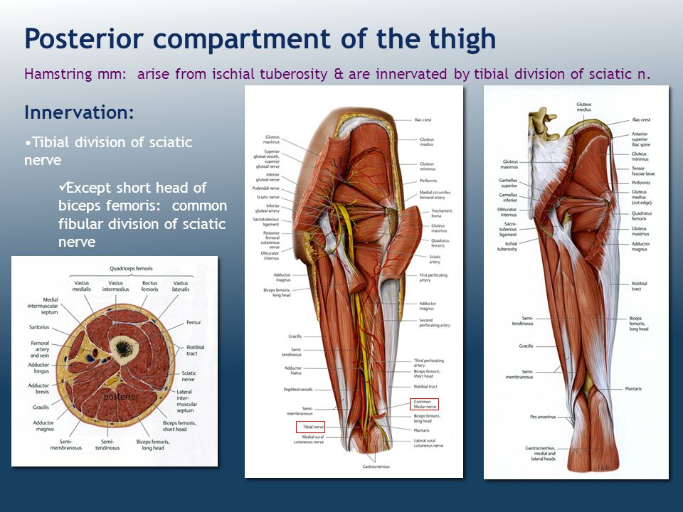 Posterior compartment of the thigh Hamstring mm: arise from ischial tuberosity & are innervated by tibial division of sciatic n. Innervation: Tibial d