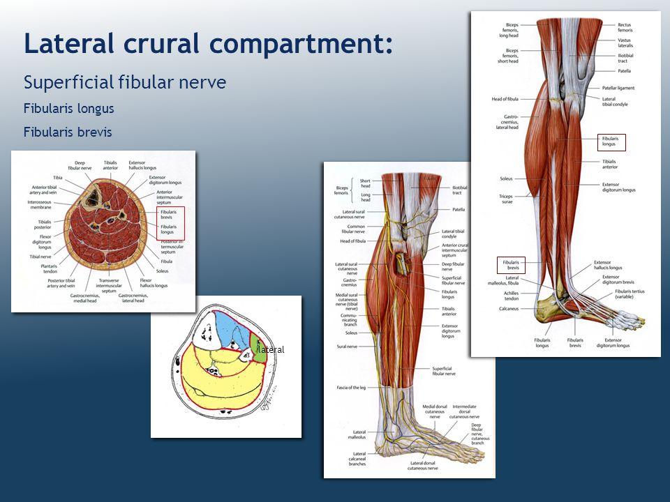 Lateral crural compartment: Superficial fibular nerve Fibularis longus Fibularis brevis lateral