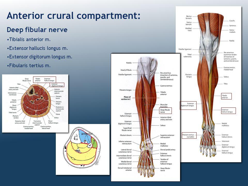 Anterior crural compartment: Deep fibular nerve Tibialis anterior m. Extensor hallucis longus m. Extensor digitorum longus m. Fibularis tertius m. ant