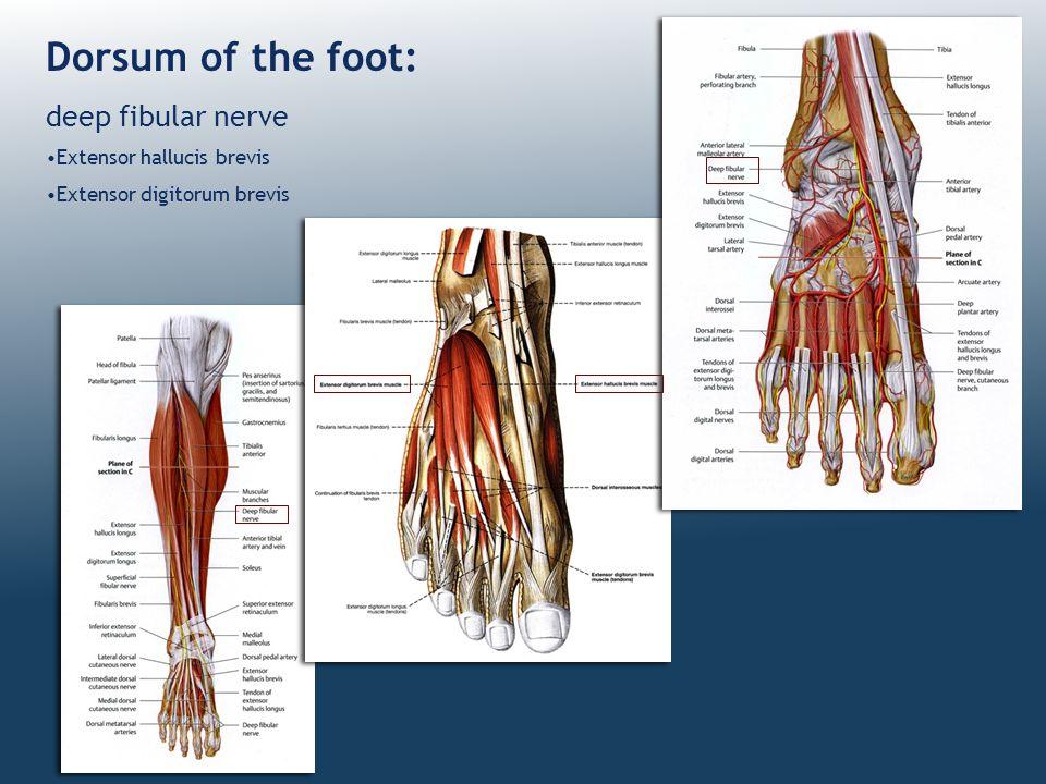 Dorsum of the foot: deep fibular nerve Extensor hallucis brevis Extensor digitorum brevis