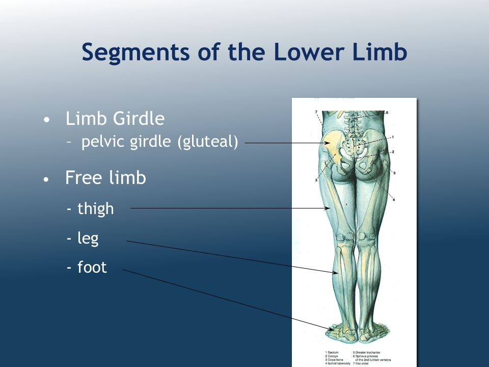 Joints of the Lower Limb