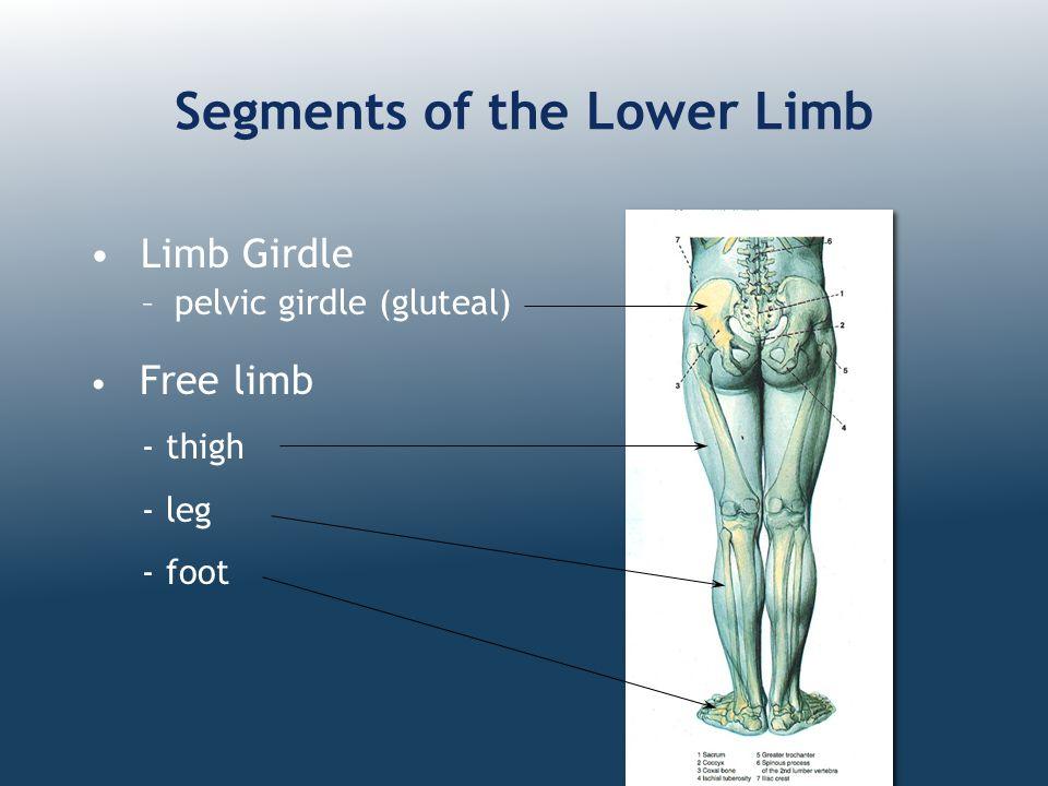 Segments of the Lower Limb Limb Girdle –pelvic girdle (gluteal) Free limb - thigh - leg - foot