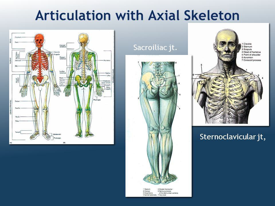 Articulation with Axial Skeleton Sternoclavicular jt, Sacroiliac jt.