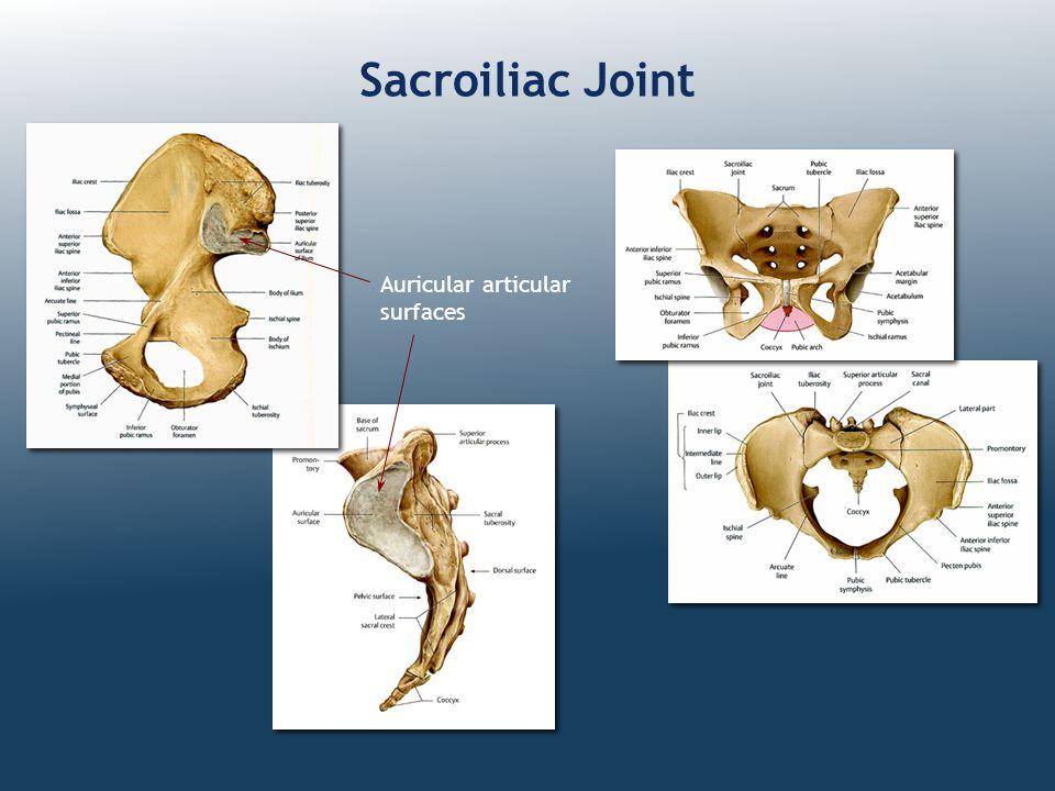 Sacroiliac Joint Auricular articular surfaces