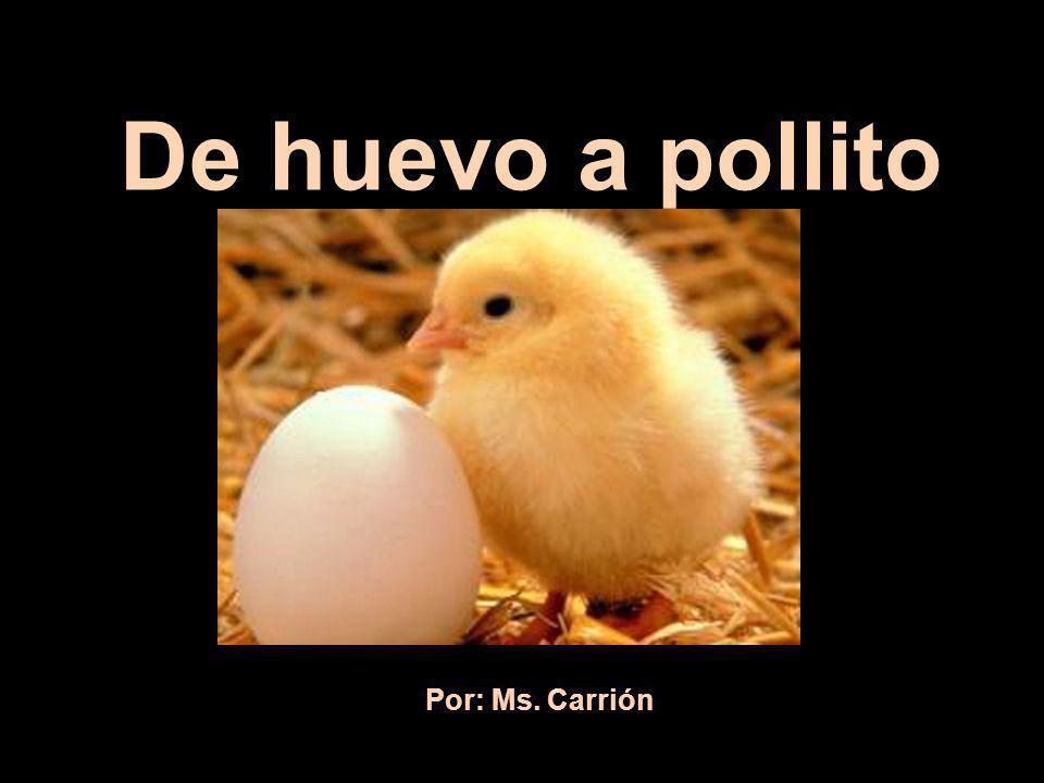 De huevo a pollito Por: Ms. Carrión