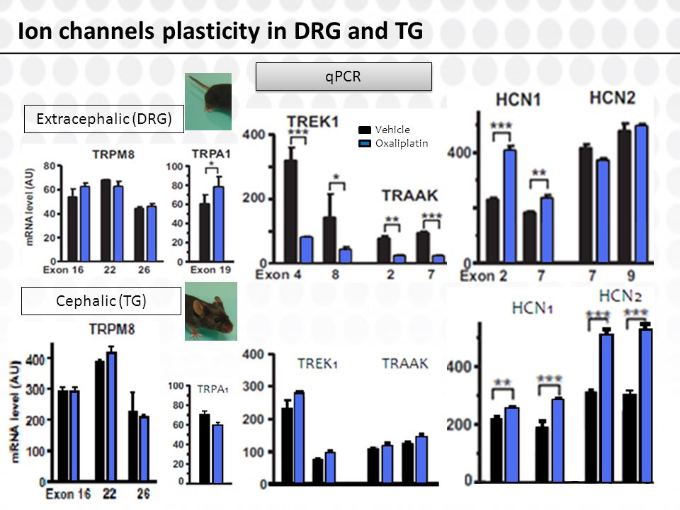 Ion channels plasticity in DRG and TG qPCR Extracephalic (DRG) Cephalic (TG) Vehicle Oxaliplatin