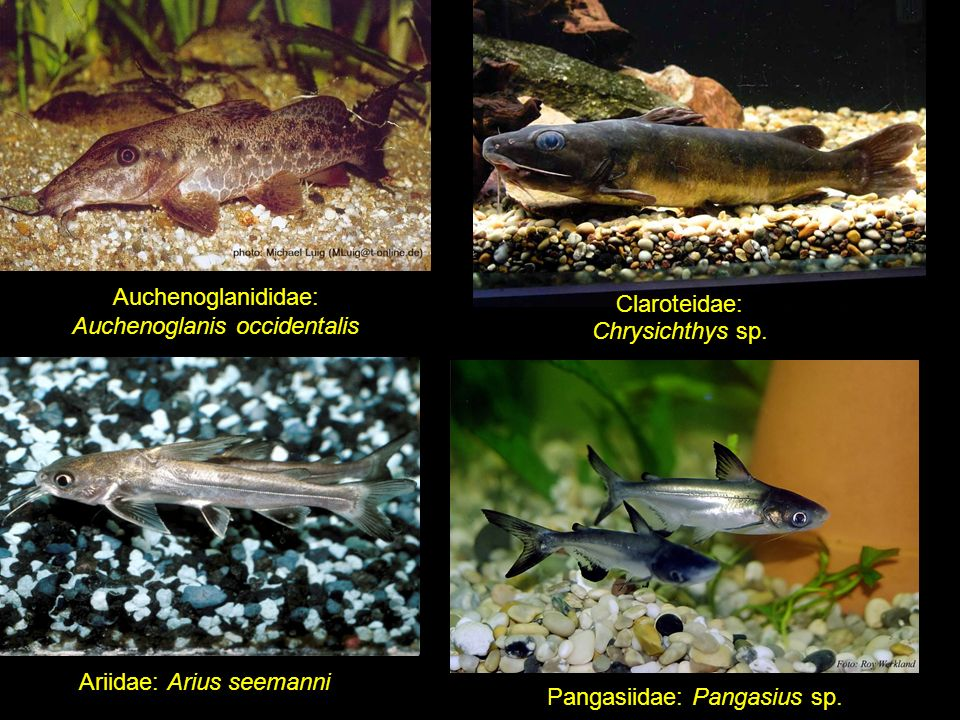 Auchenoglanididae: Auchenoglanis occidentalis Claroteidae: Chrysichthys sp.