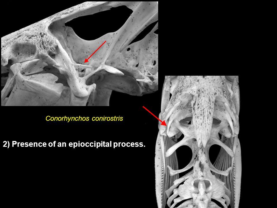 Conorhynchos conirostris 2) Presence of an epioccipital process.