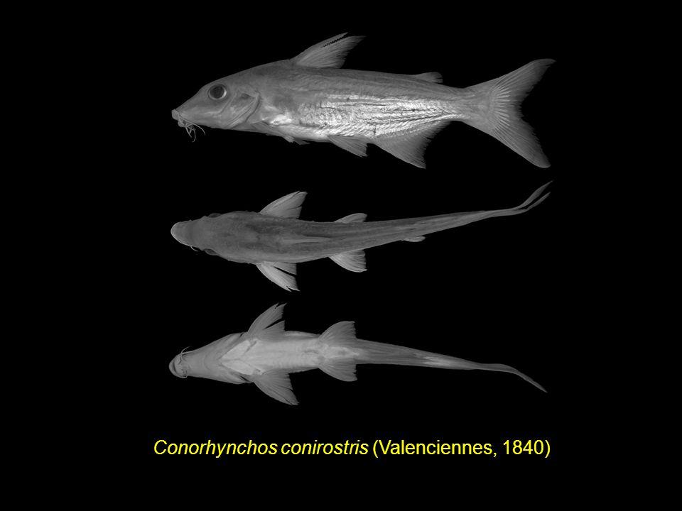 Conorhynchos conirostris (Valenciennes, 1840)