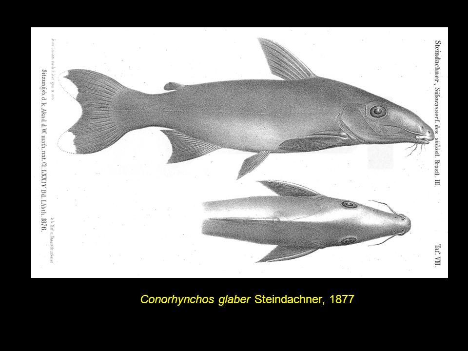 Conorhynchos glaber Steindachner, 1877