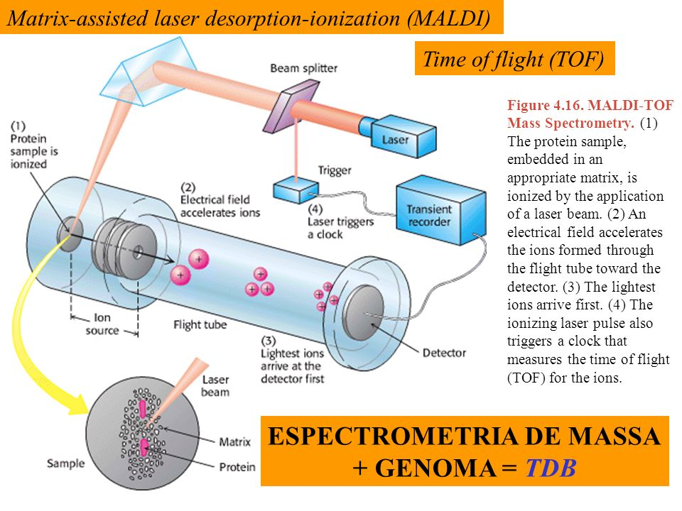 Figure 4.16. MALDI-TOF Mass Spectrometry. (1) The protein sample, embedded in an appropriate matrix, is ionized by the application of a laser beam. (2