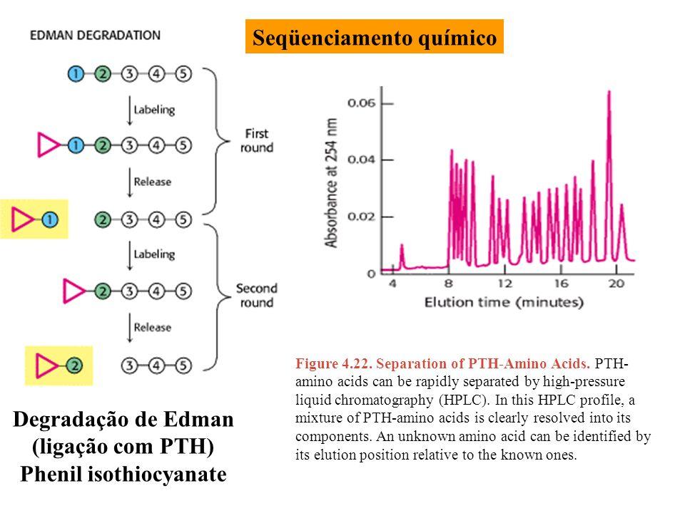 Degradação de Edman (ligação com PTH) Phenil isothiocyanate Figure 4.22. Separation of PTH-Amino Acids. PTH- amino acids can be rapidly separated by h