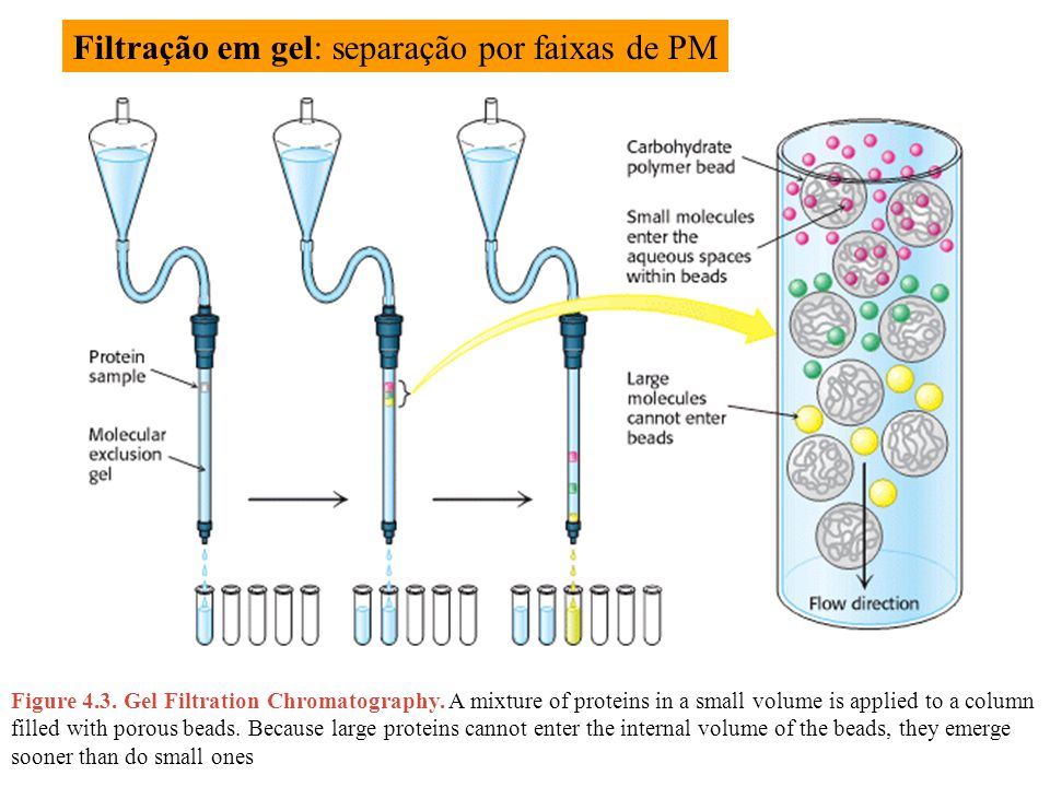 Figure 4.3. Gel Filtration Chromatography. A mixture of proteins in a small volume is applied to a column filled with porous beads. Because large prot