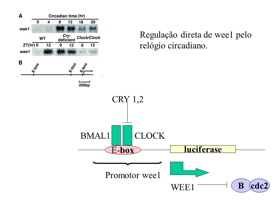Regulação direta de wee1 pelo relógio circadiano.