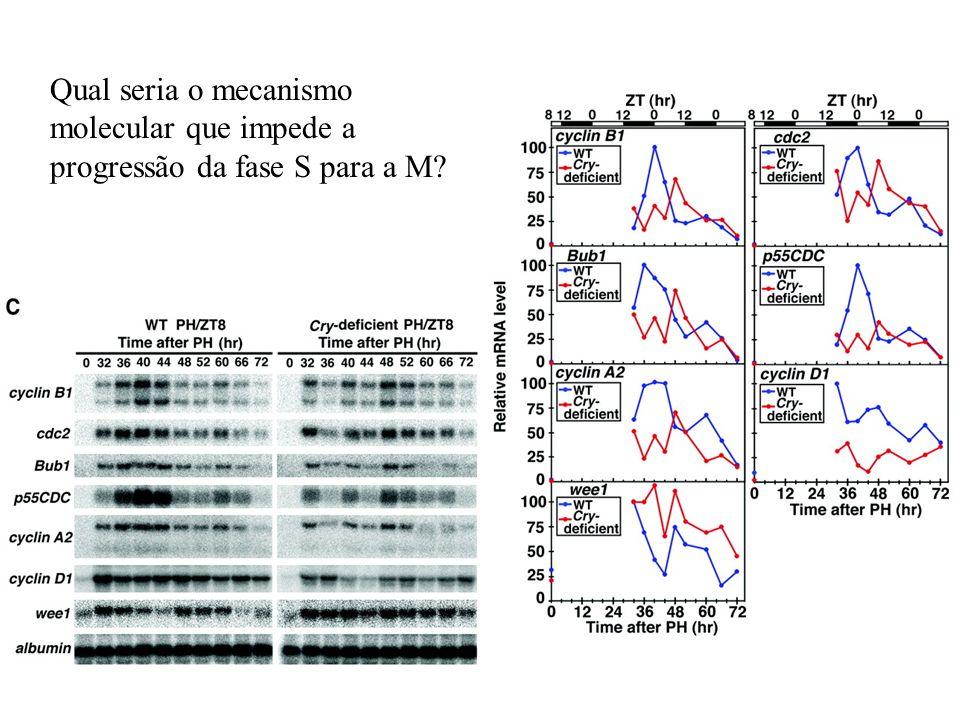 Qual seria o mecanismo molecular que impede a progressão da fase S para a M?