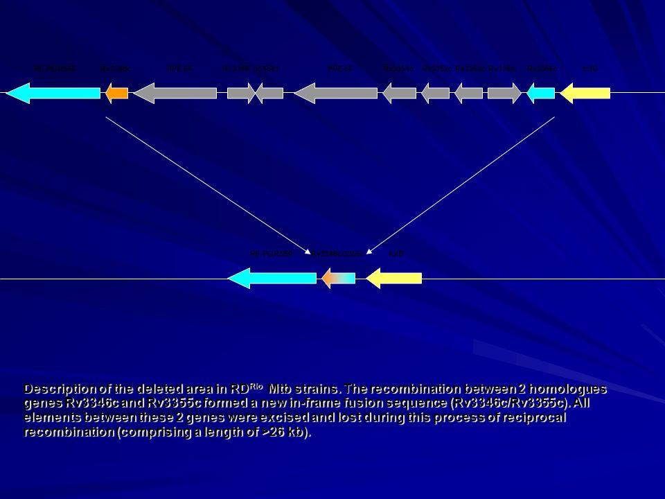 PE-PGRS50Rv3346cPPE 55Rv3348IS1561PPE 56Rv3351cRv3352cRv3353cRv3354Rv3355cfolD PE-PGRS50folDRv3346c/3355c Description of the deleted area in RD Rio Mt