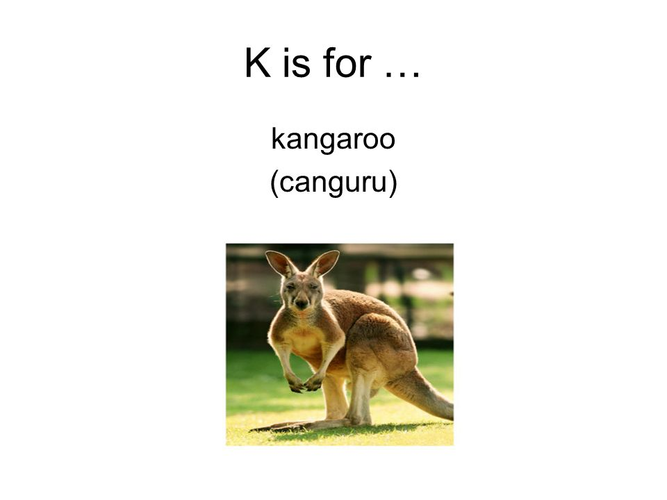 K is for … kangaroo (canguru)