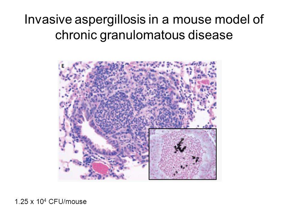 Invasive aspergillosis in a mouse model of chronic granulomatous disease 1.25 x 10 4 CFU/mouse