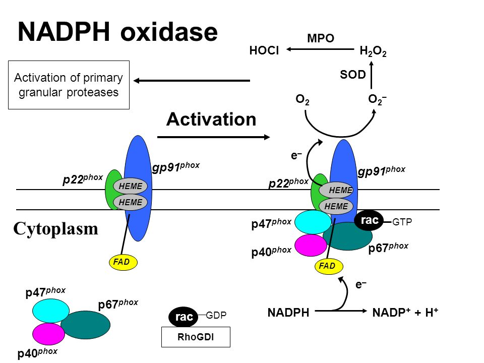 HEME HOCIH2O2H2O2 SOD NADP + + H + NADPH MPO O2O2 O2–O2– p22 phox gp91 phox e–e– FAD e–e– rac GTP HEME p22 phox gp91 phox FAD HEME rac p7 phox RhoGDI GDP p67 phox p47 phox p40 phox p67 phox p47 phox p40 phox NADPH oxidase Activation Cytoplasm Activation of primary granular proteases