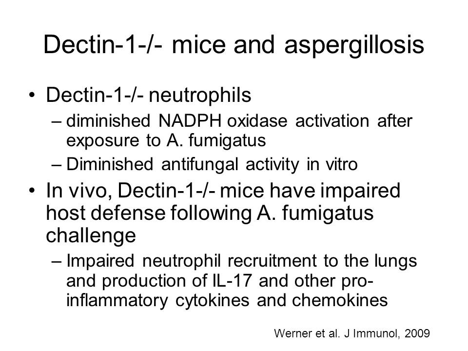 Dectin-1-/- mice and aspergillosis Dectin-1-/- neutrophils –diminished NADPH oxidase activation after exposure to A. fumigatus –Diminished antifungal