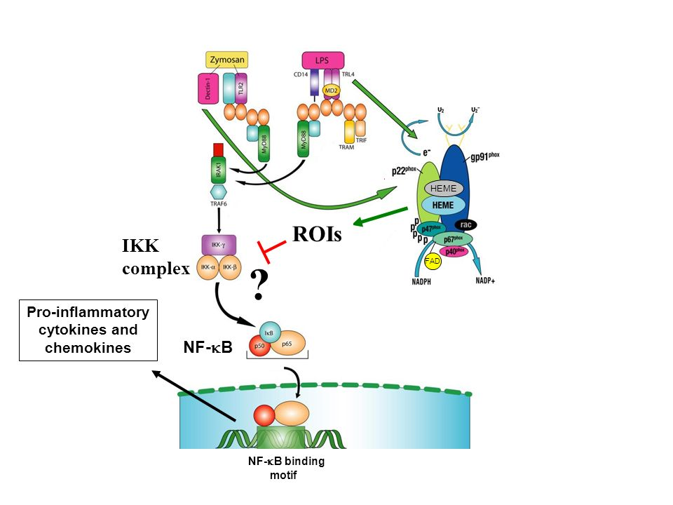 IKK complex NF- B NF- B binding motif HEME FAD ROIs Pro-inflammatory cytokines and chemokines ?