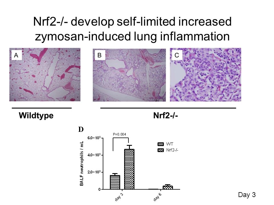 Nrf2-/- develop self-limited increased zymosan-induced lung inflammation Day 3 D